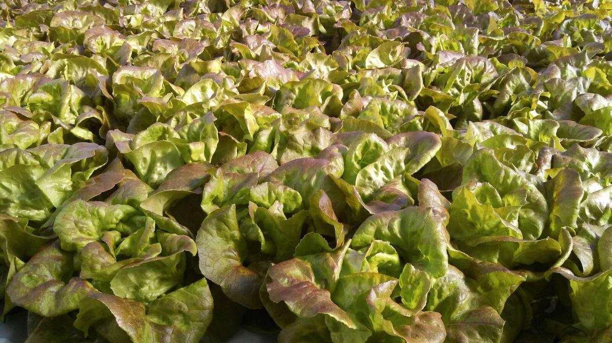 red tinged lettuce.JPG