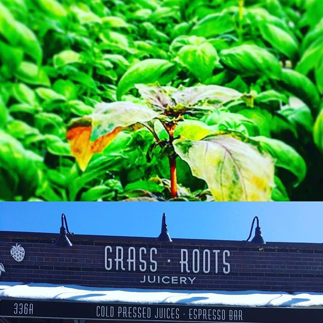 Enjoy some fresh hyper-local live greens! Tomorrow at @grassrootsjuicery 10am-2pm! Free recipes! With your greens as well!! Saturday March 18th 336 Graham Brooklyn 10am-2pm  #greenisgreat #greenhousegrown #hydroponics #urbanagriculture