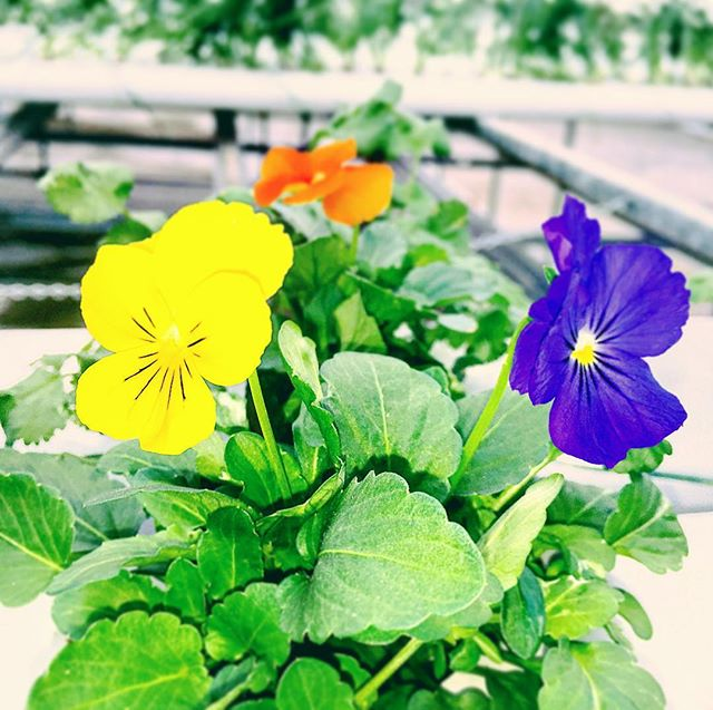 These Viola's are a great addition to anyones day. The subtle wintergreen Taste add's a great flavor to soup Salad or any other dish!! #nycurbanag #urbanagriculture #greenhousegrown #hydroponics #lovemyjob #vitaminc #themoreyouknow #foodforthefuture