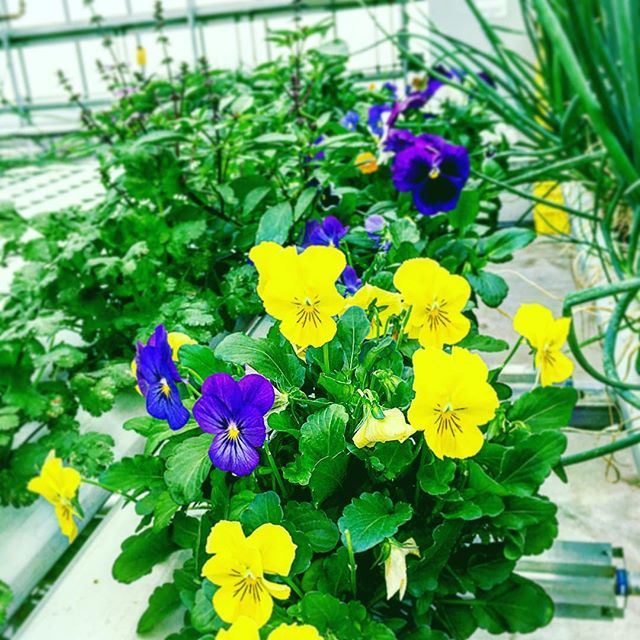 All I can say is love what you eat! #lovemyjob #hydroponics #greenhousegrown #urbanagriculture #nycurbanag #viola #edibleflowers