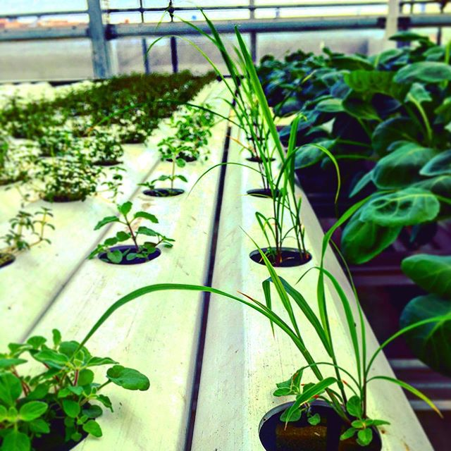 Bringing flavors from around the world to a local level! Lemongrass(right), Zaatar(Left). #knowyourfarmer #hydroponics #nycurbanag #expandyourthinking #growwhatyoulove #lovemyjob