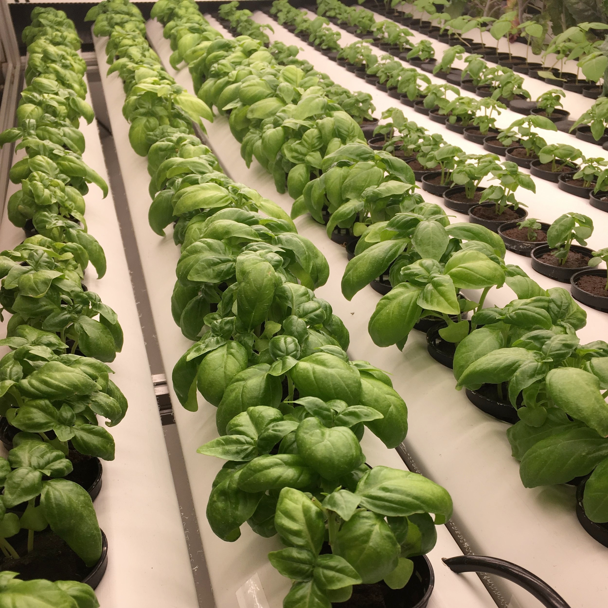 This hydroponically grown basil has never touched soil or seen sunlight. | Image Source: @plantnasty