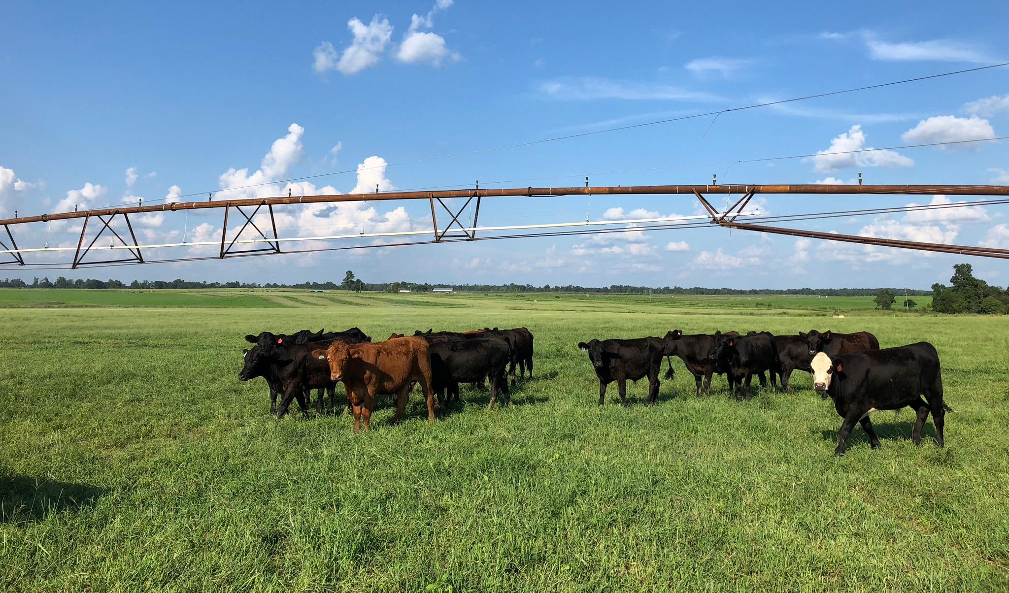Grassfed cattle at Blackdirt Farms, a farming operation on Harvest Return's platform.