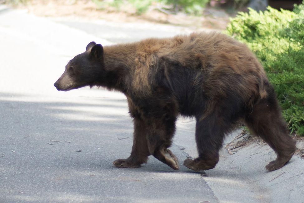 Bear in Tahoe Walking.jpg