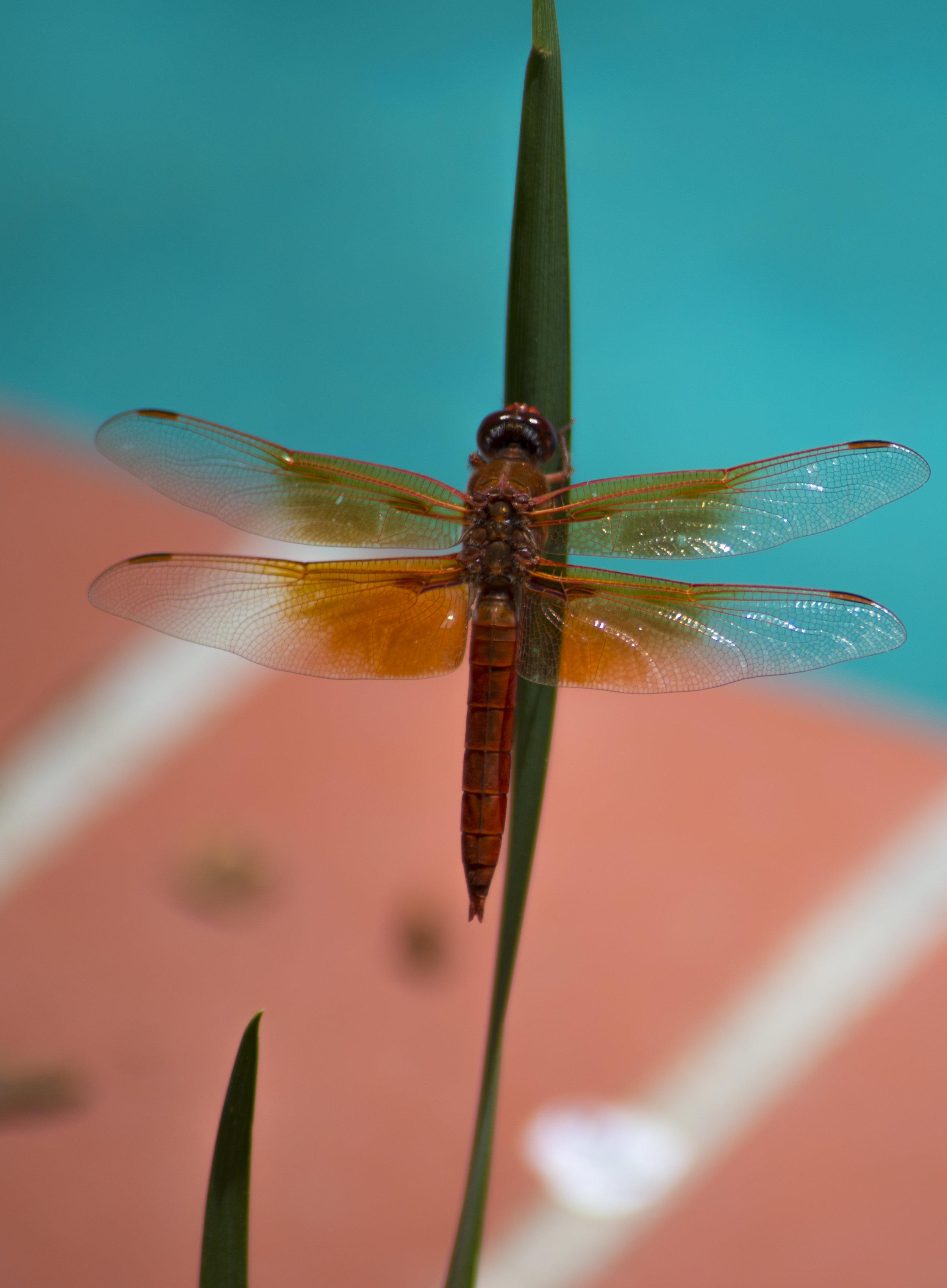 Red Dragon…fly.jpg