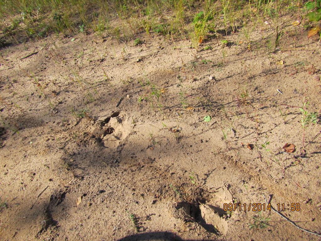Moose tracks, River Rd, AB