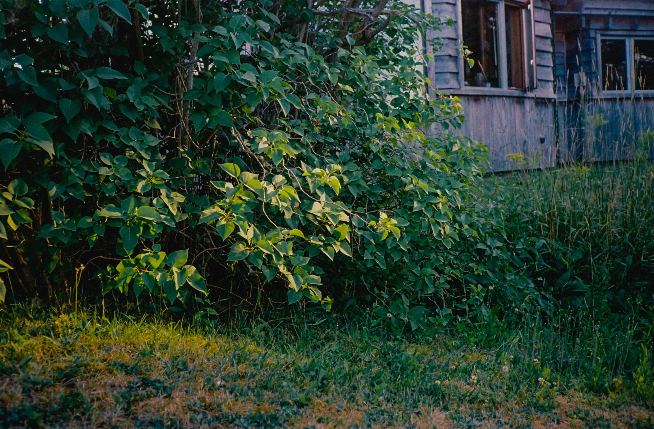 LeavesAgainstHouseMaine1.jpg