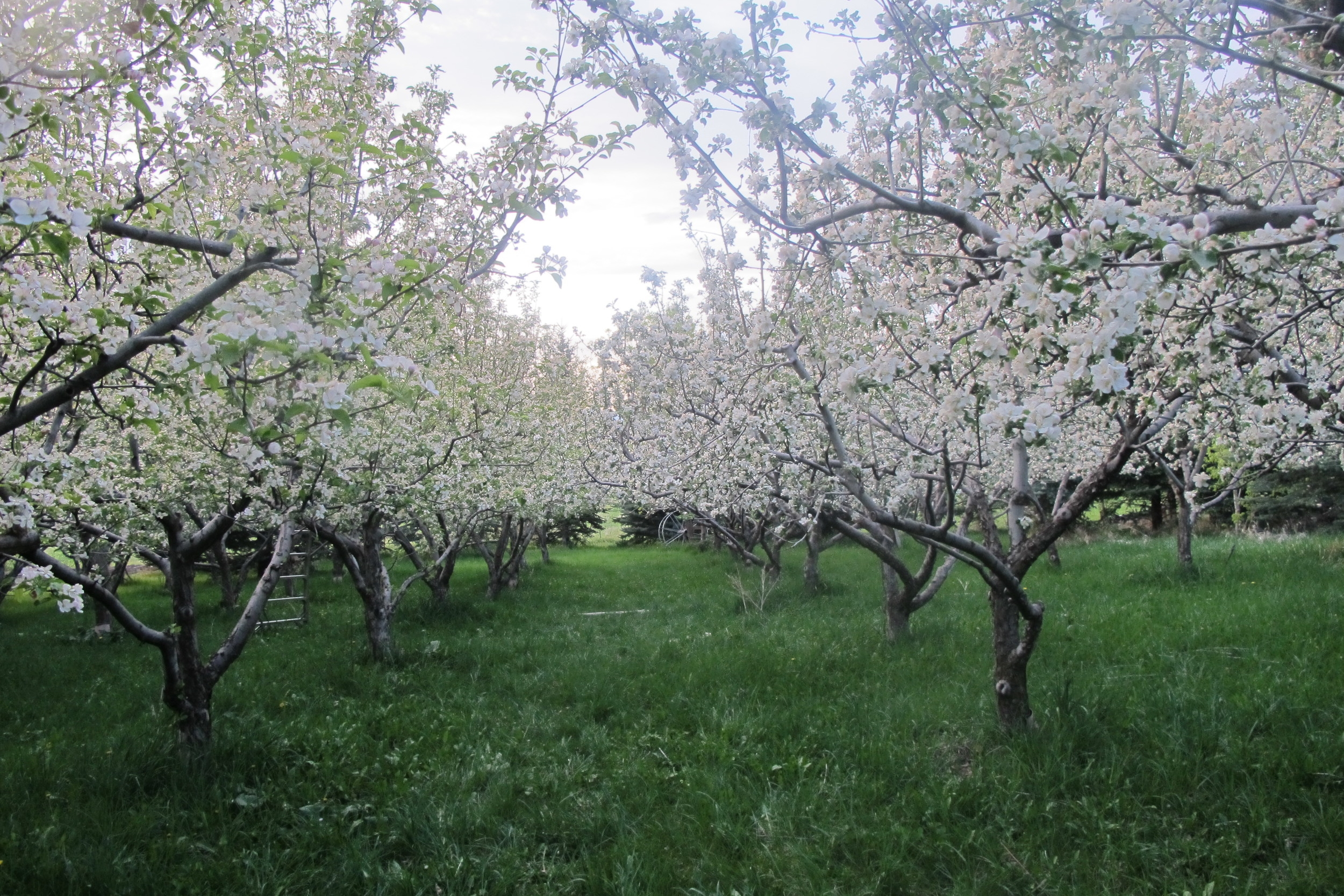 The Lavender Apple's apple orchard.
