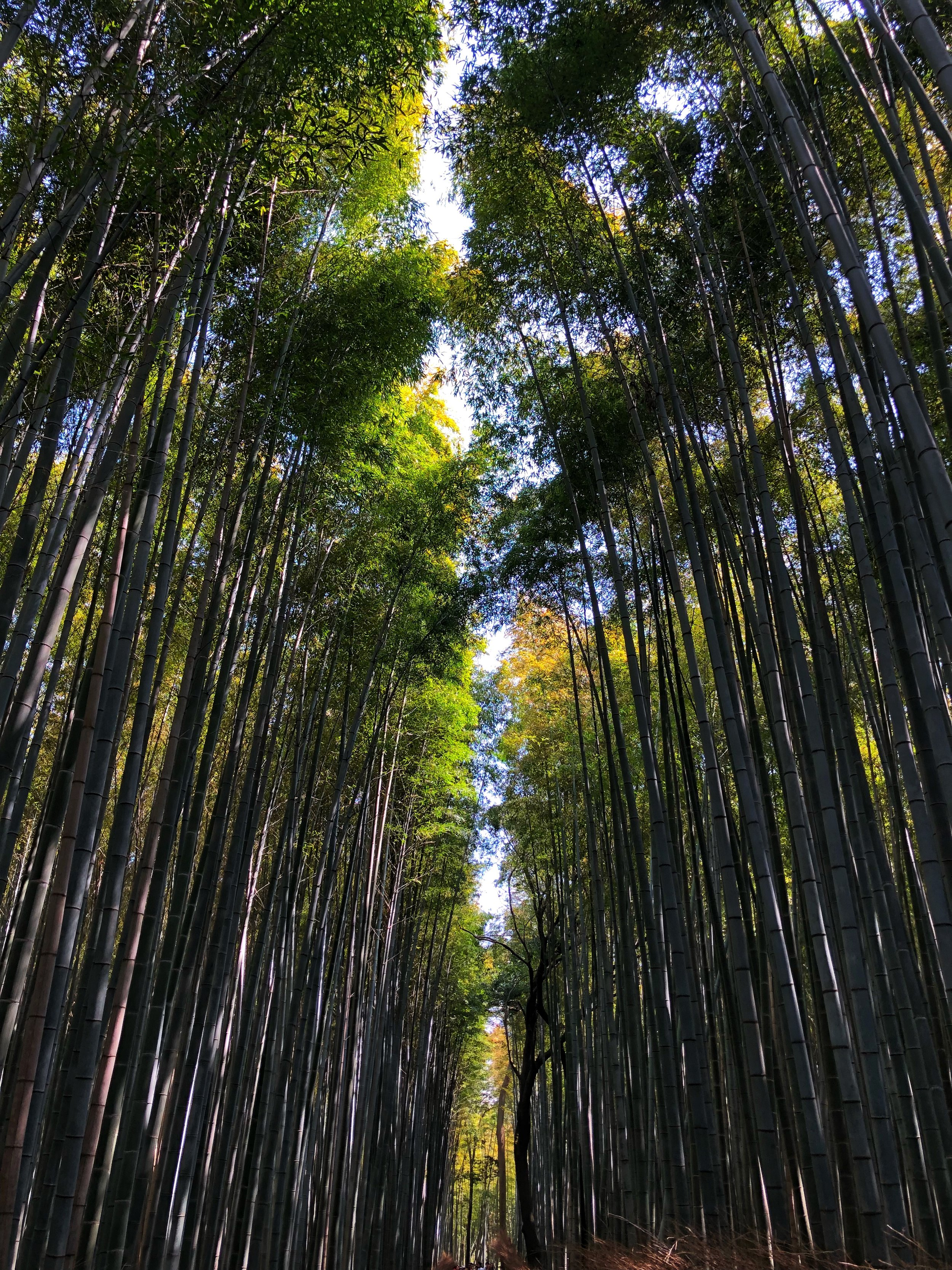 Arashiyama Bamboo Grove: Don't Forget To Look Up!