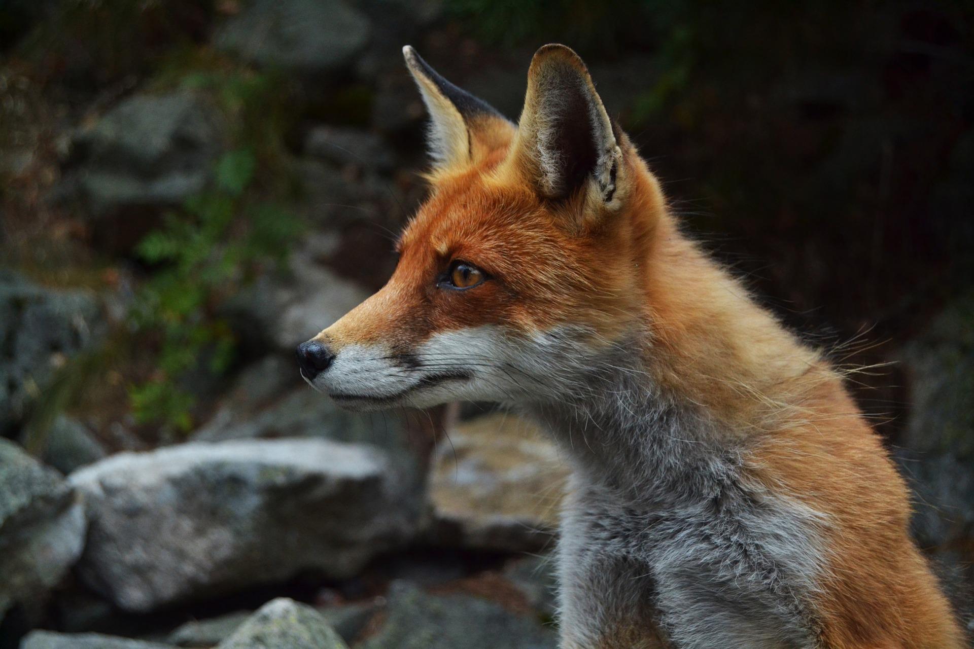 fox-984325_1920.jpg