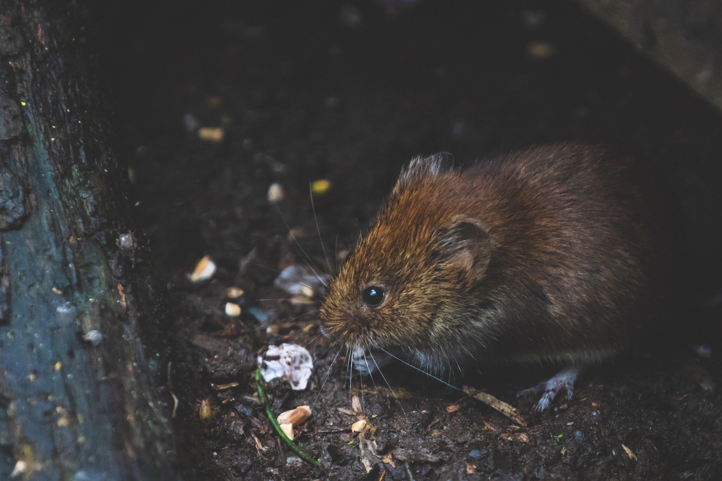 animal-bank-vole-blur-1010267.jpg