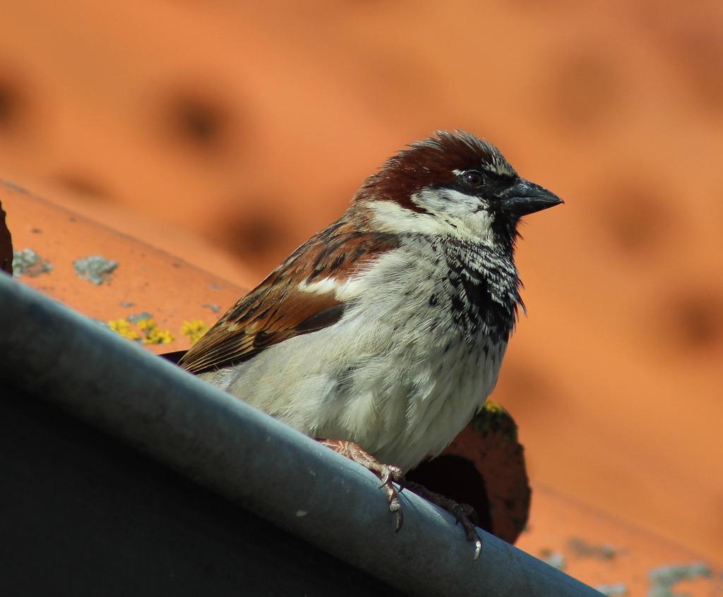 House sparrow bird sparrow, animals..jpg