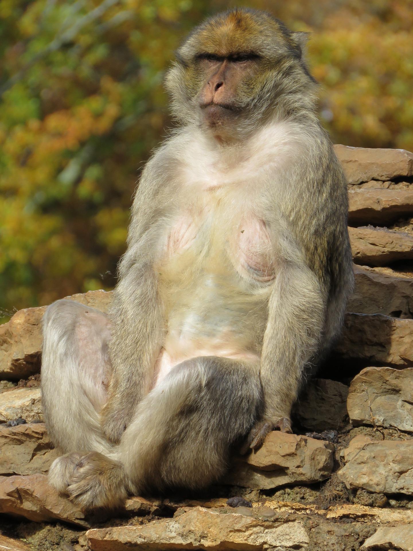 macaque-1175251_1920.jpg