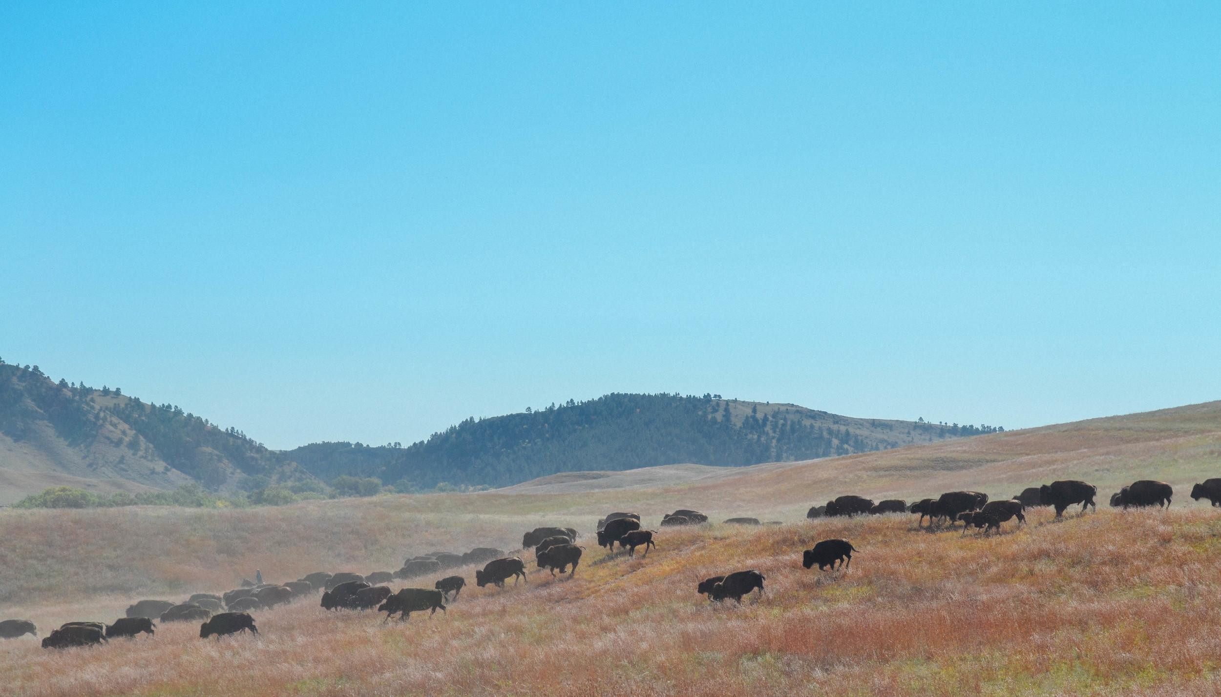 Buffalo Roundup - South Dakota