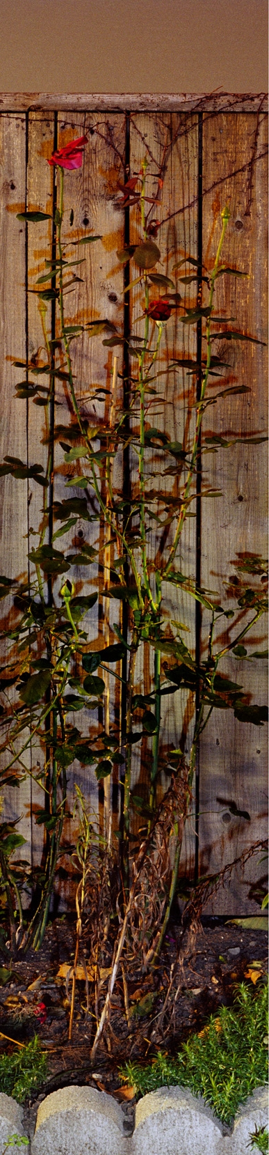 Suzy Lake, Beauty at the End of Every Season #9 , 2006, 72 x 26 inches, c–print, edition of 3