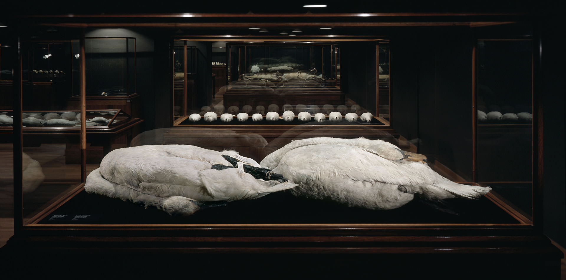 The Final Sleep/Le Dernier Sommeil , 2001, 4000 square feet, Forground - Mute and Trumpeter swan skins, Background - Ptarmigan bird skins, duck skeletons in a row, two Albino beavers. Royal Ontario Museum collection