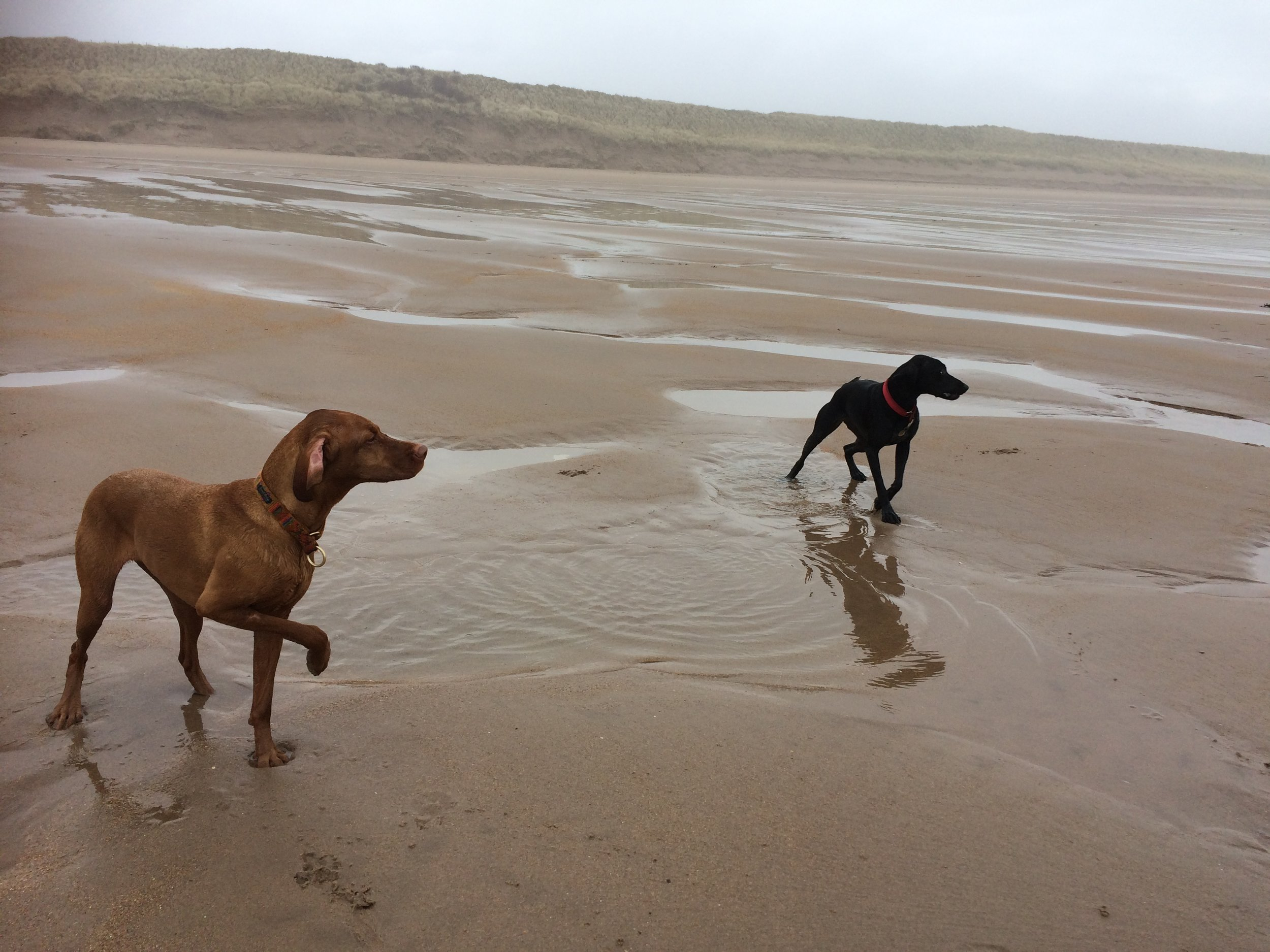 Jasper and Bo waiting patiently for a ball to be thrown on Tyninghame beach
