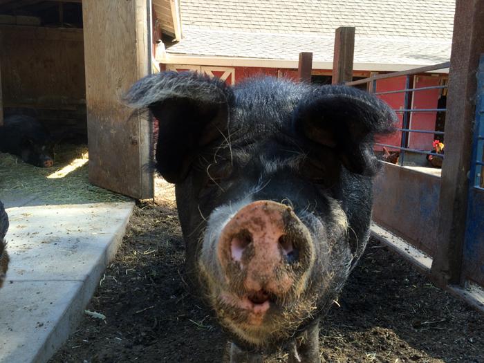 pig-little farm-snout-small.jpg