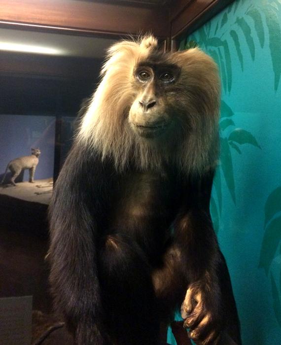 Long Haired Macaque (monkey)_adj01-sm.jpg