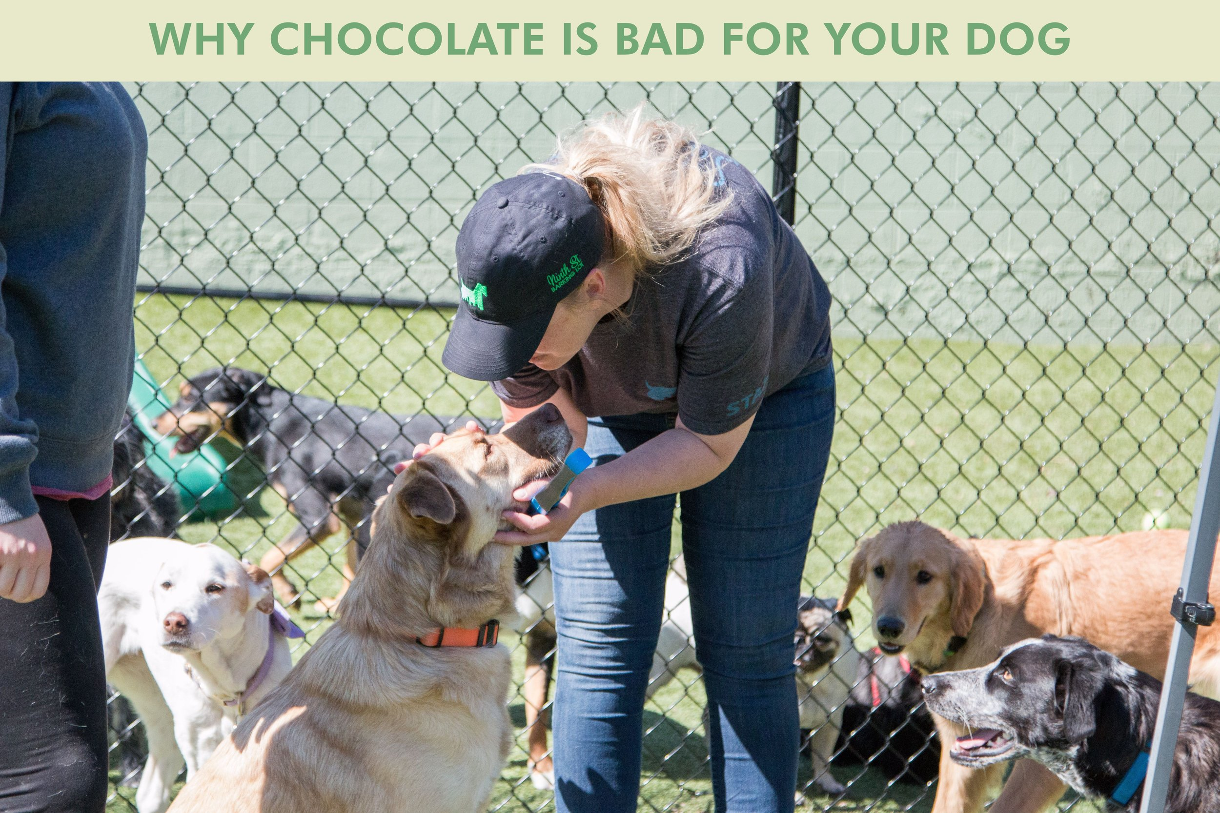 Why Chocolate is Bad for Your Dog