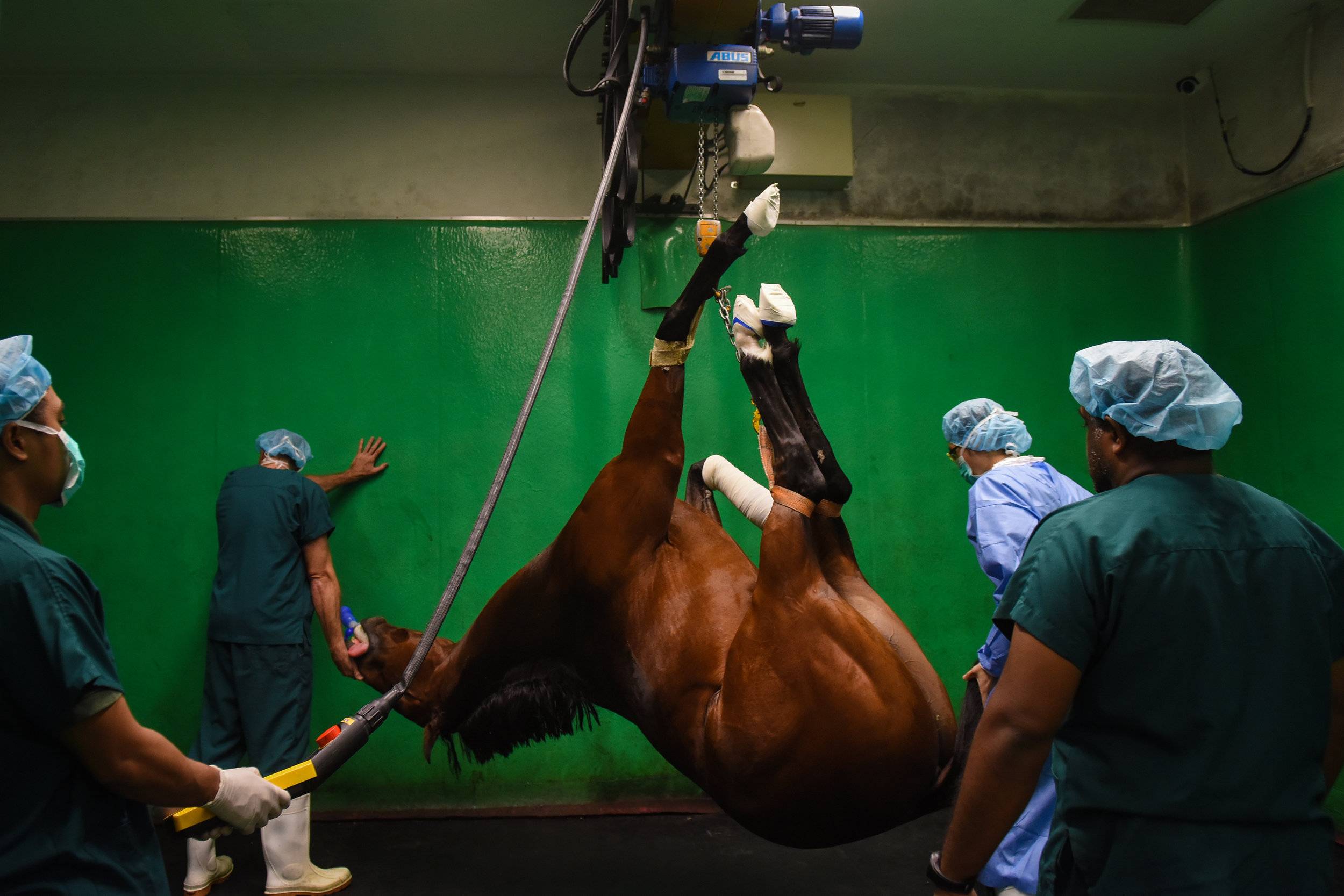 Senator, a four-year-old racehorse being hoisted back to recovery room of the Singapore Turf Club's vet hospital after successful arthroscopic surgery. The general anaesthesia takes about 15 minutes to wear off after the surgery and the medical team will monitor the horse via a surveillance camera until it regains consciousness and can be taken back to the stables to rest.