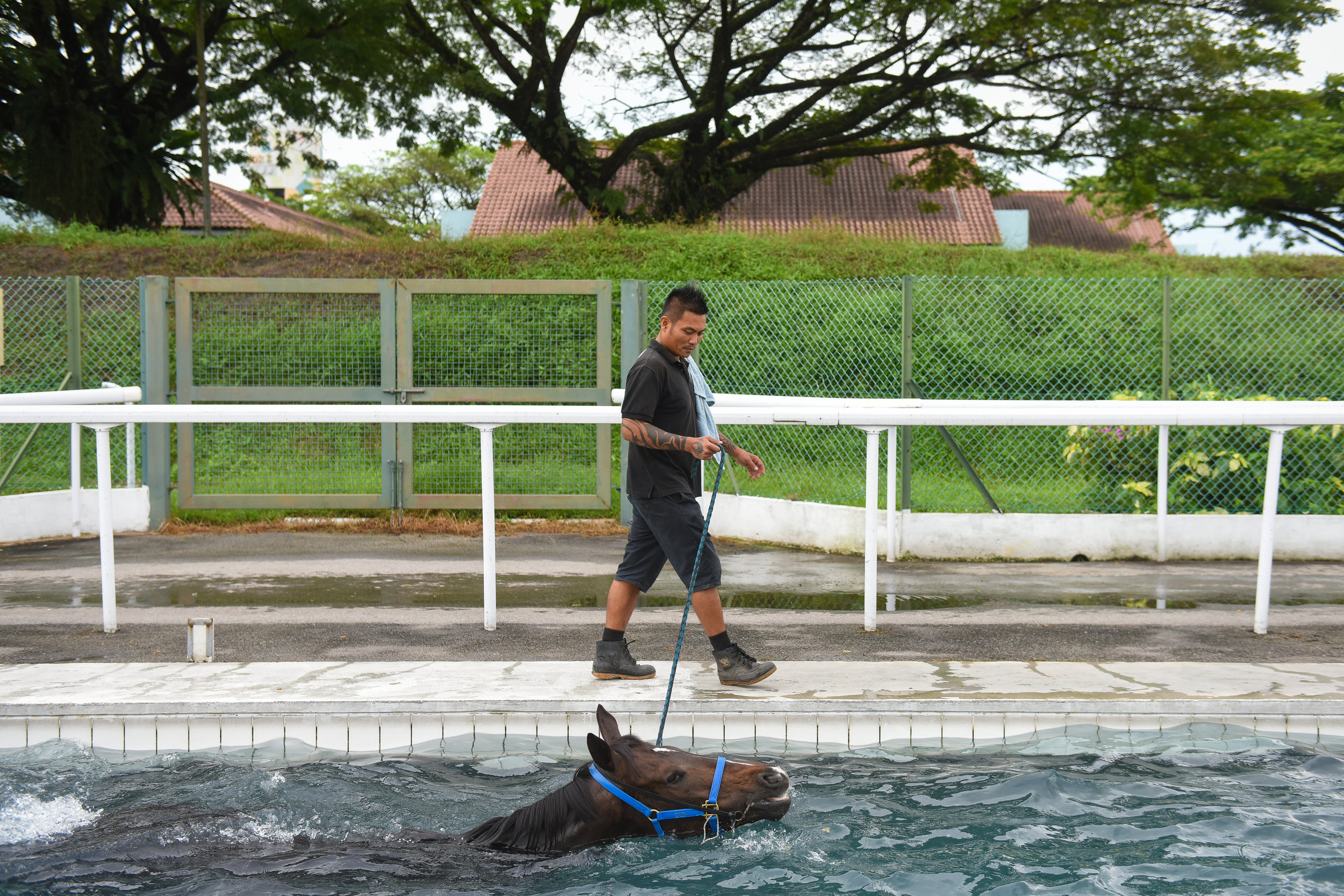 Mr Sulaiman Saib, 43, a syce, taking three-year-old racehorse Winning Tango for a swim. Syces are responsible for grooming the animals and taking them out for exercise. Racehorses go for swims up to four times a week. Members of the public who sign up for the stable tours can watch this activity, which helps the horses build stamina and strength.