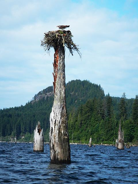 Osprey Nest in Lois Lake - Photo by Stan Fishburn