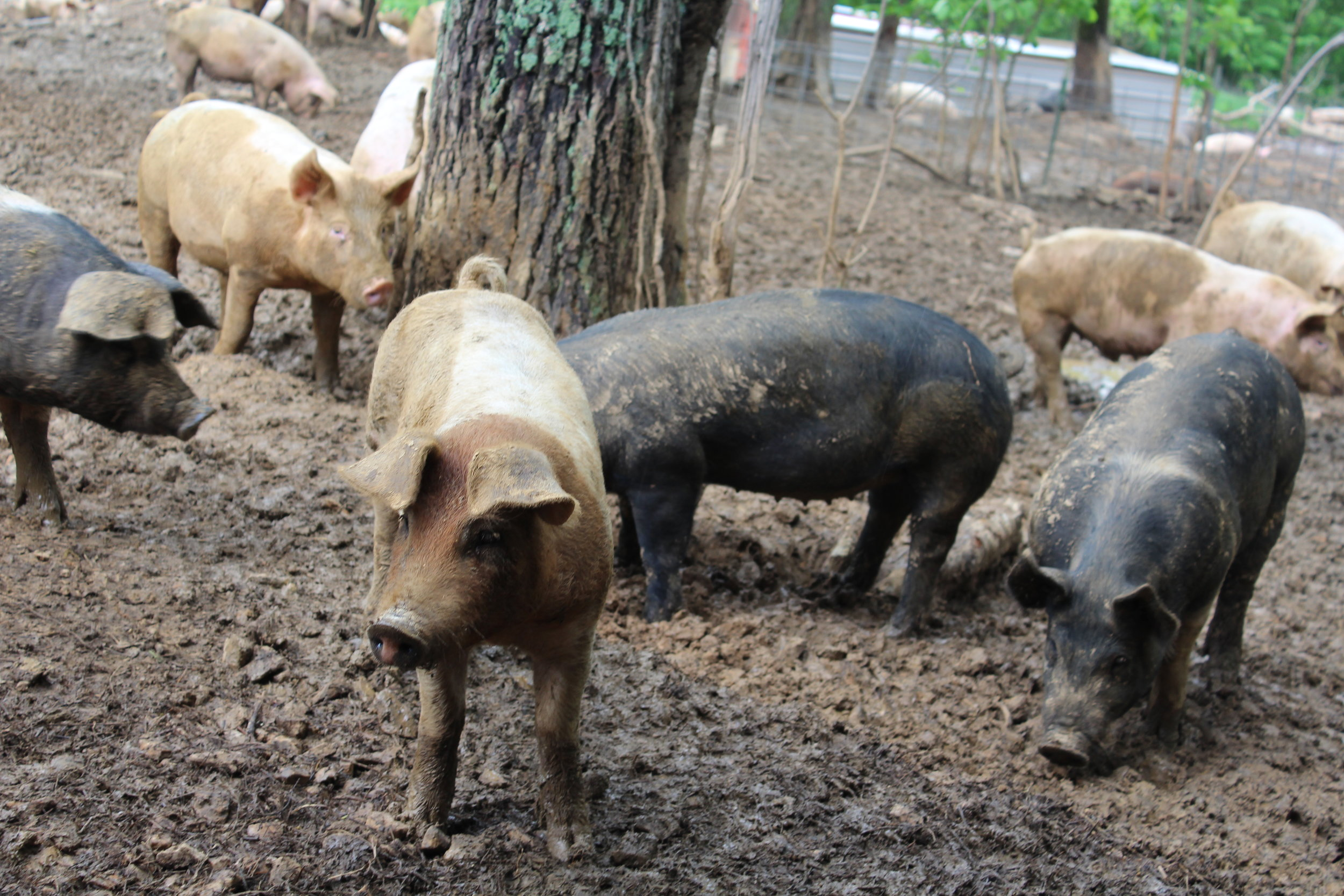 At Rittenberry Farms, the hogs and beef have plenty of space to explore, socialize, and play.