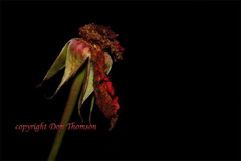 dying-flower1.jpg