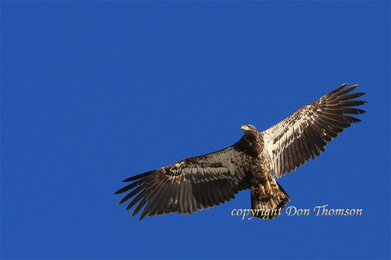 eagle-20.jpg