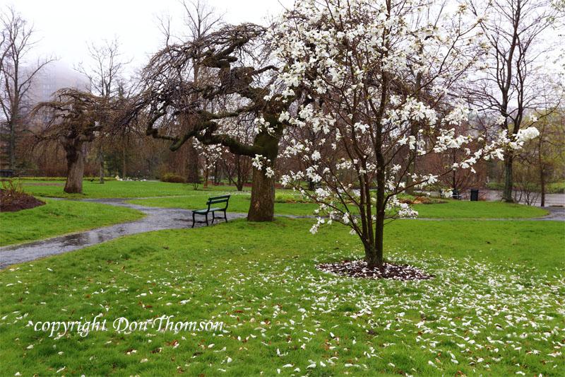 public-garden-rain-magnolia.jpg