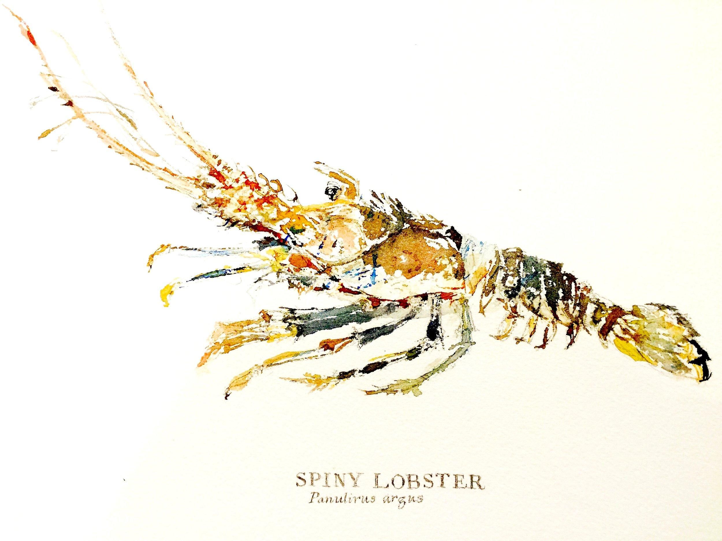 Spiny Lobster, 2016