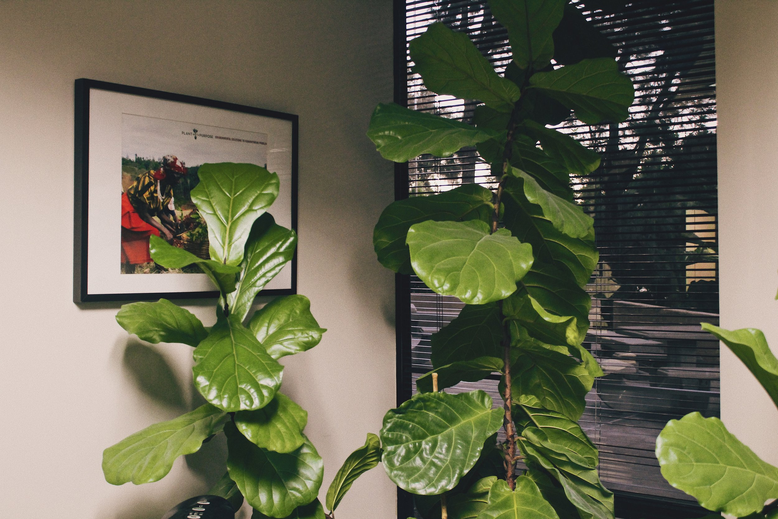 #2 Office Fiddle Leaf.JPG