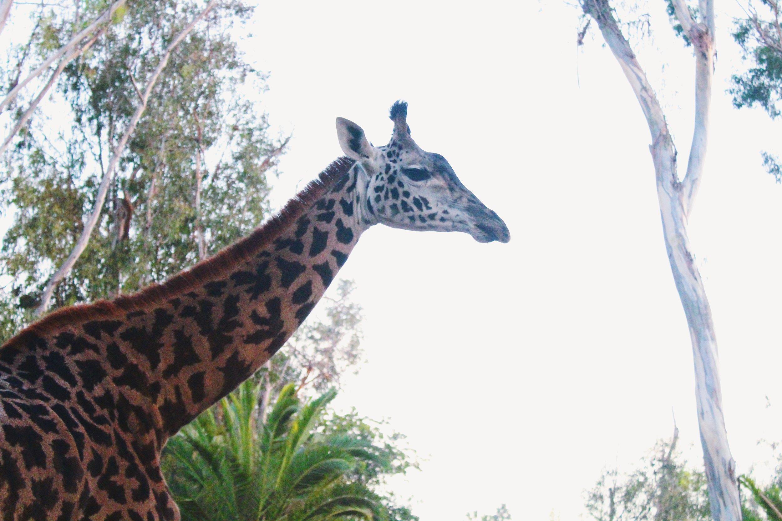 Giraffe Club [1].JPG