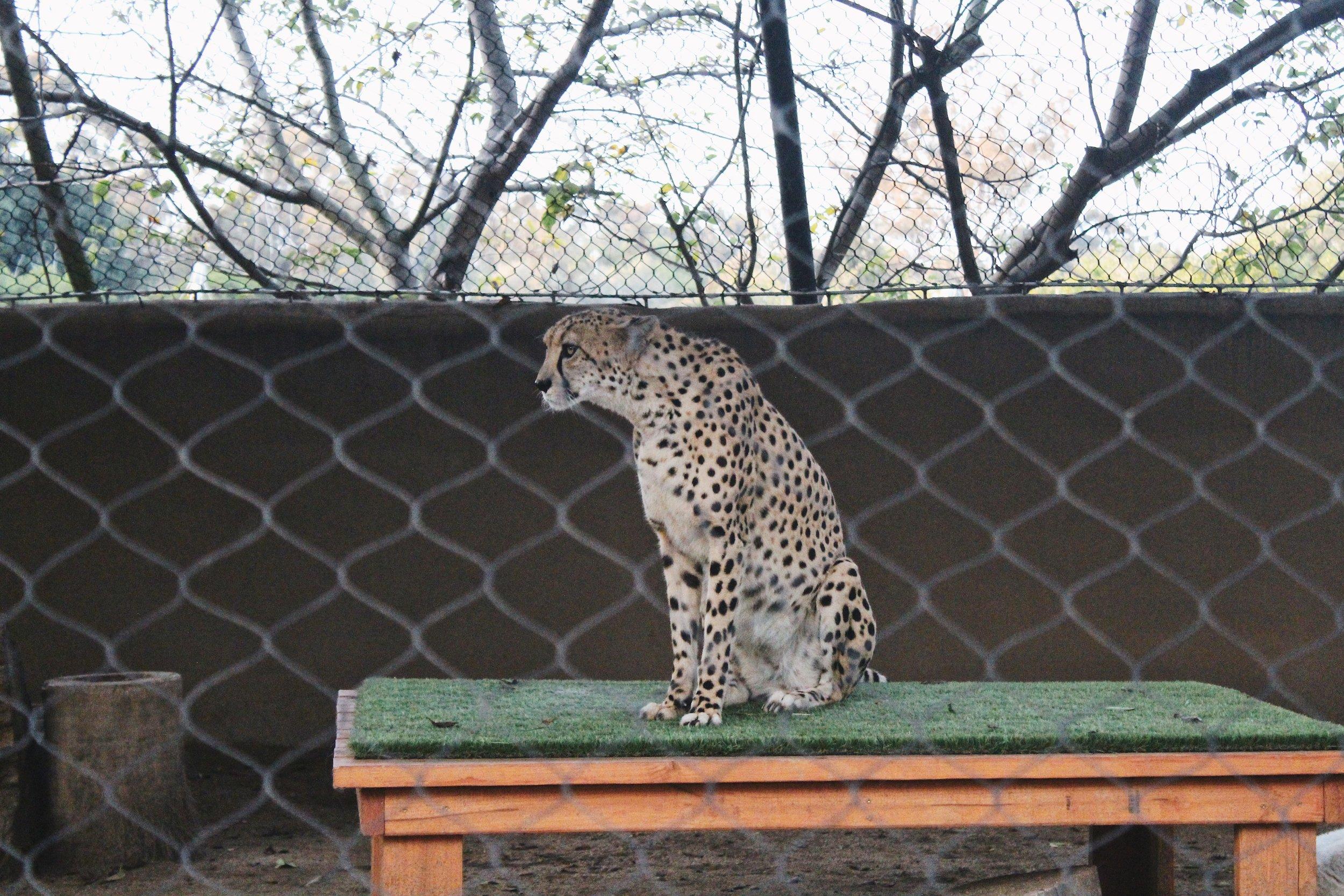 Legit Cheetah [1].JPG