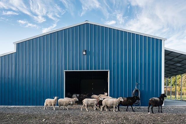 It's been a while since I've posted! My barn is done, I have my sheep and my business is up and running!  Doing what I love- training sheep dogs!  I'll be switching accounts for my business to @bluecollarfarm