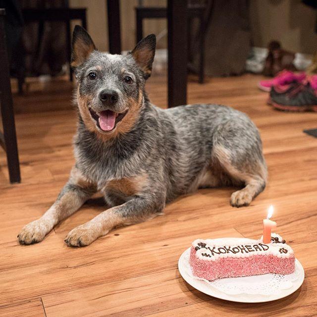 Happy 1st Birthday to my little girl, Koa! 🎉🐺🎉 ---------------------------------- #blueheeler #heeler #ilovemyheeler #heelernation #heelersofinstagram #acd #australiancattledog #cattledog #puppy #instagramdog #dogsofinstagram #pupstagram #ilovemypuppy #heelergram #acdland #birthdaygirl #happybirthday
