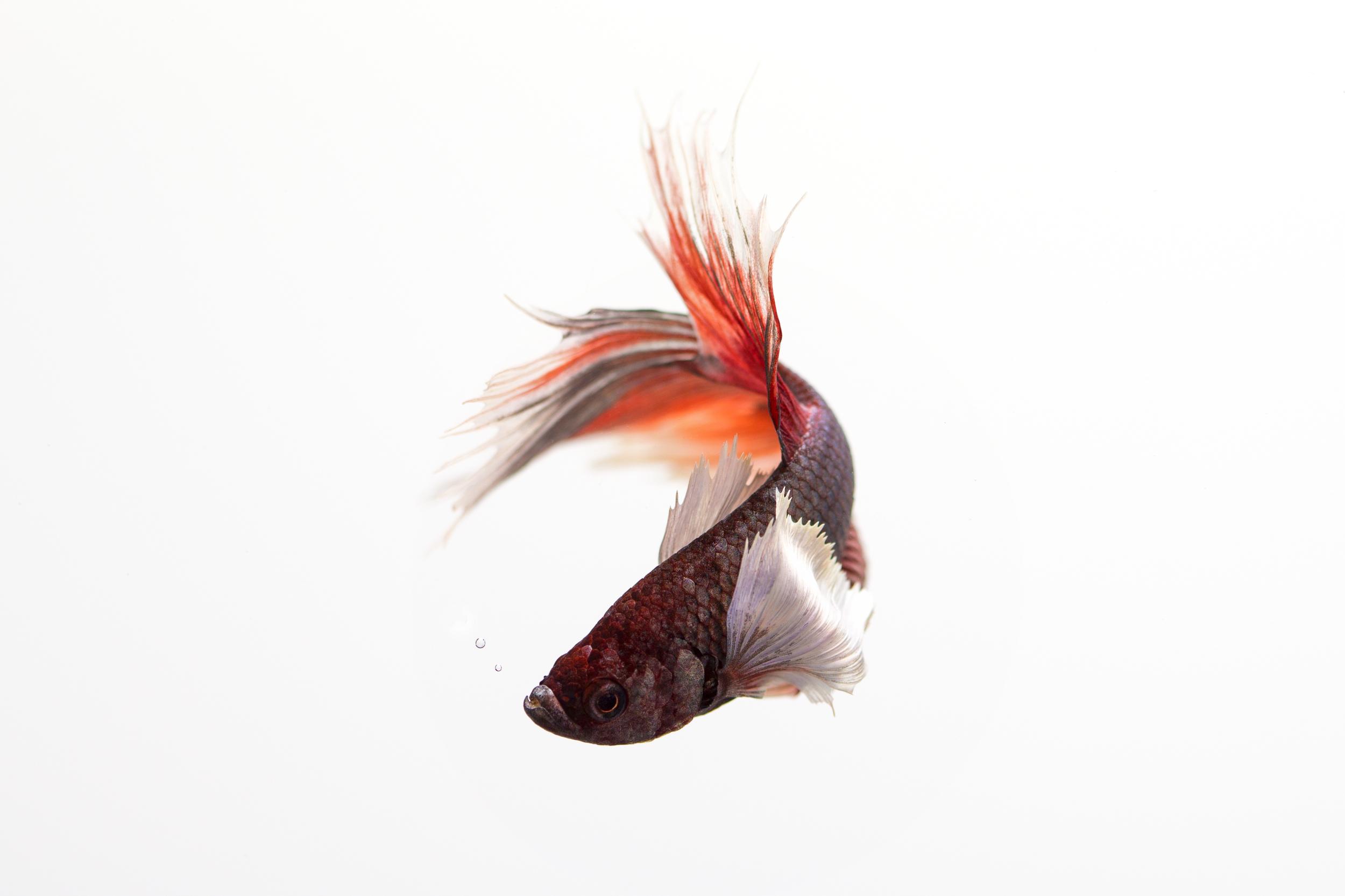 Siamese_Fighting_Fish_2_July_16_7.jpg