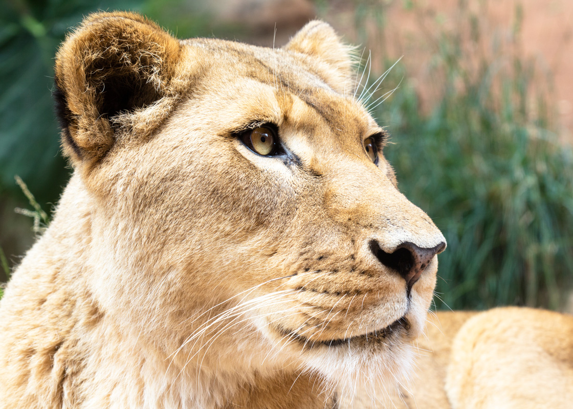 Lion+4.jpg