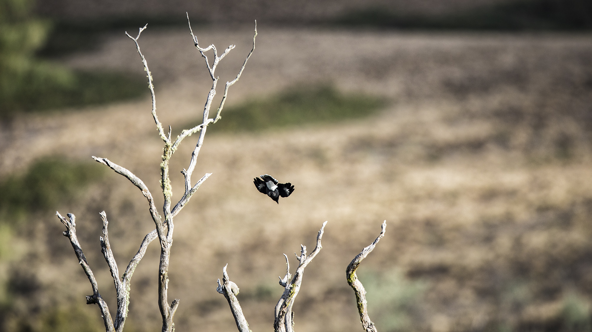 Pied_Currawong_2.jpg