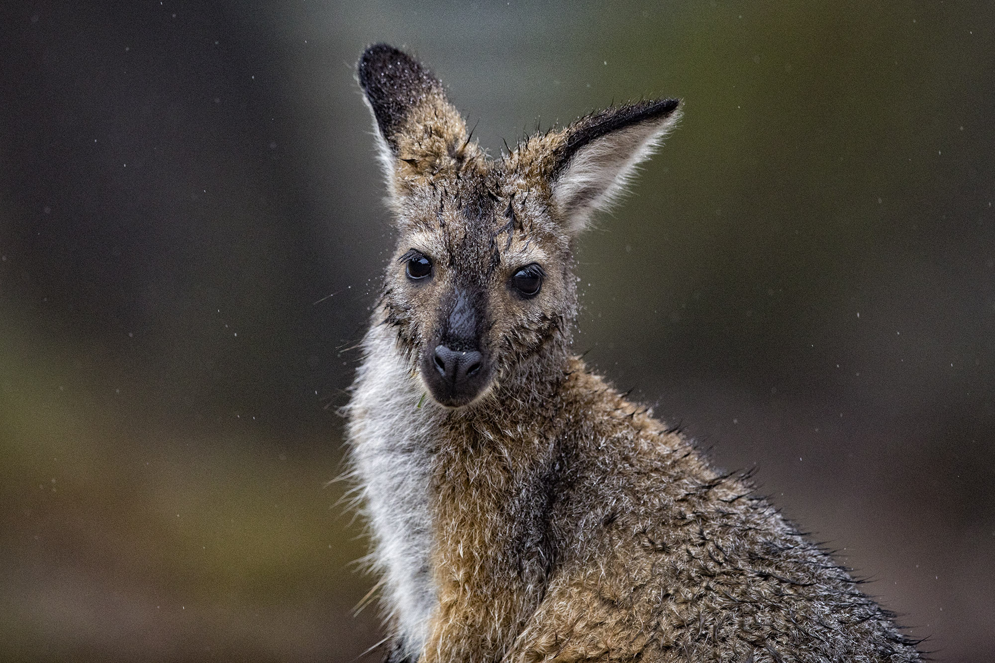 Wallaby_7.jpg