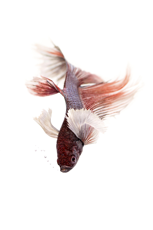 Siamese_Fighting_Fish.jpg