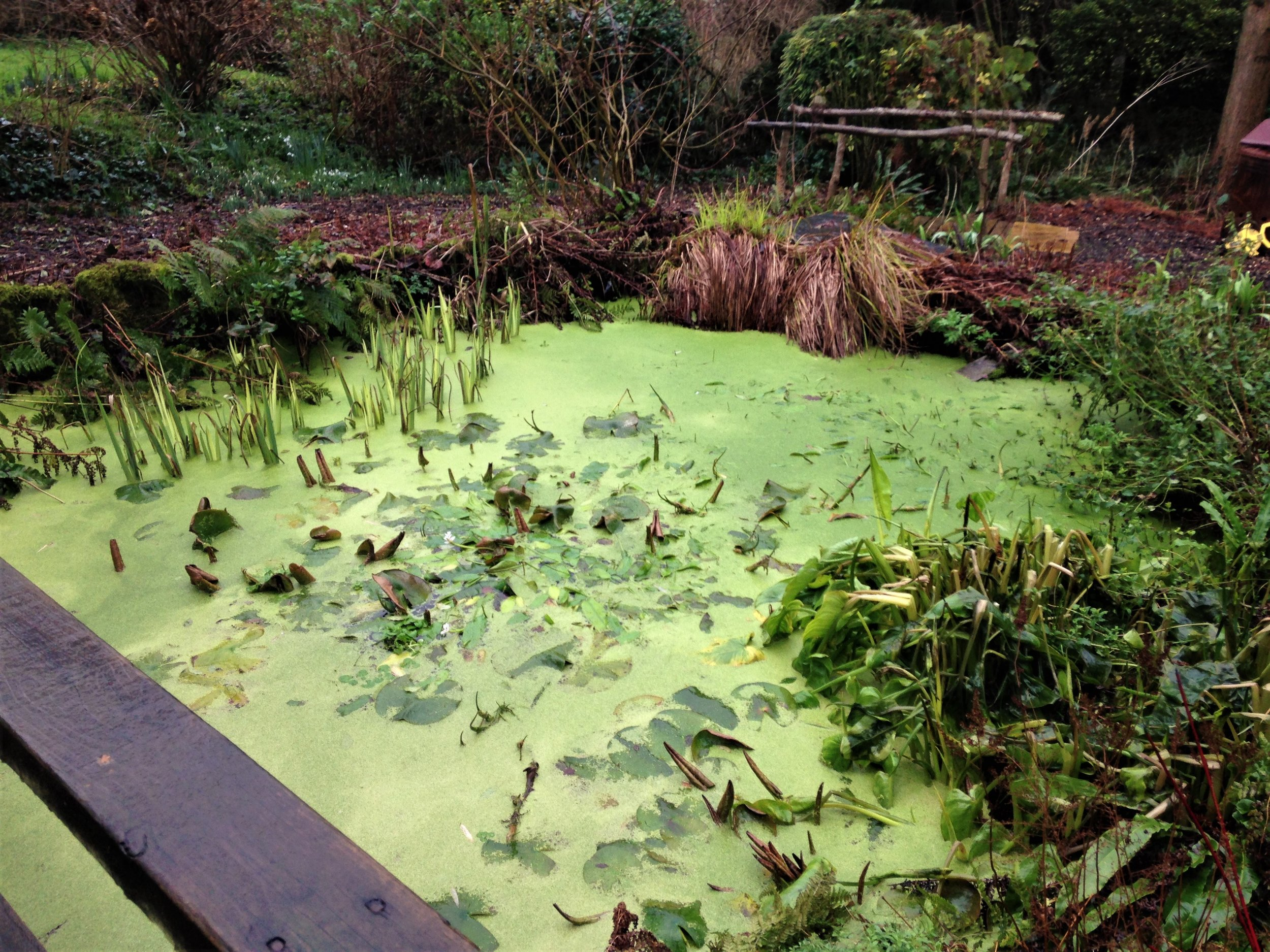 Duck weed smothering a wildlife pond