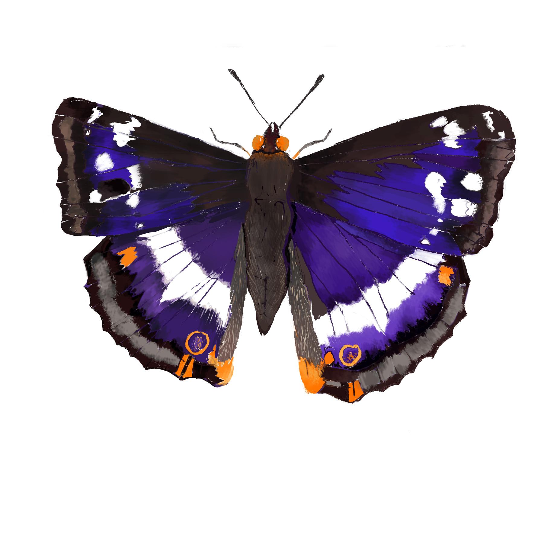 B - Butterfly