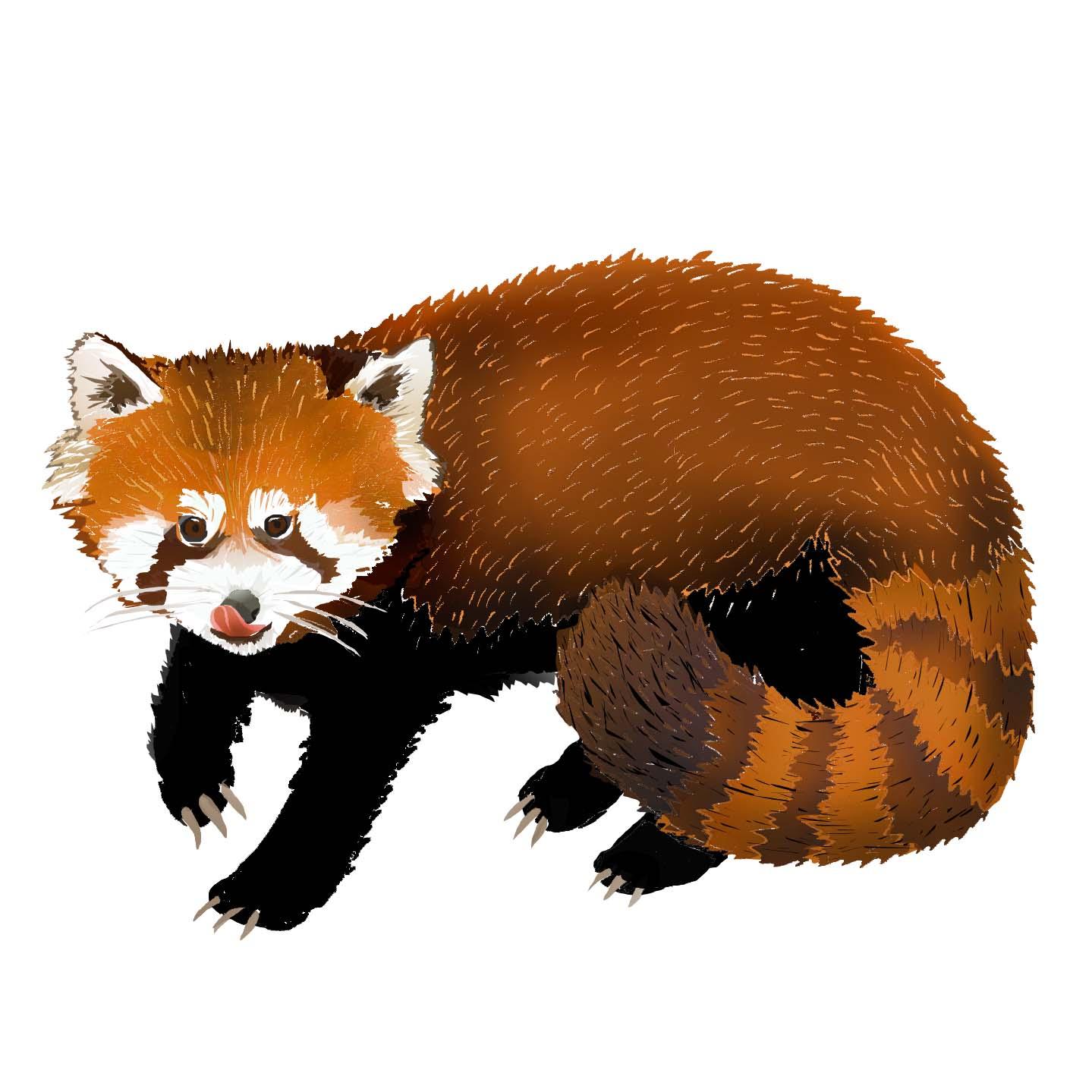 R - Red panda