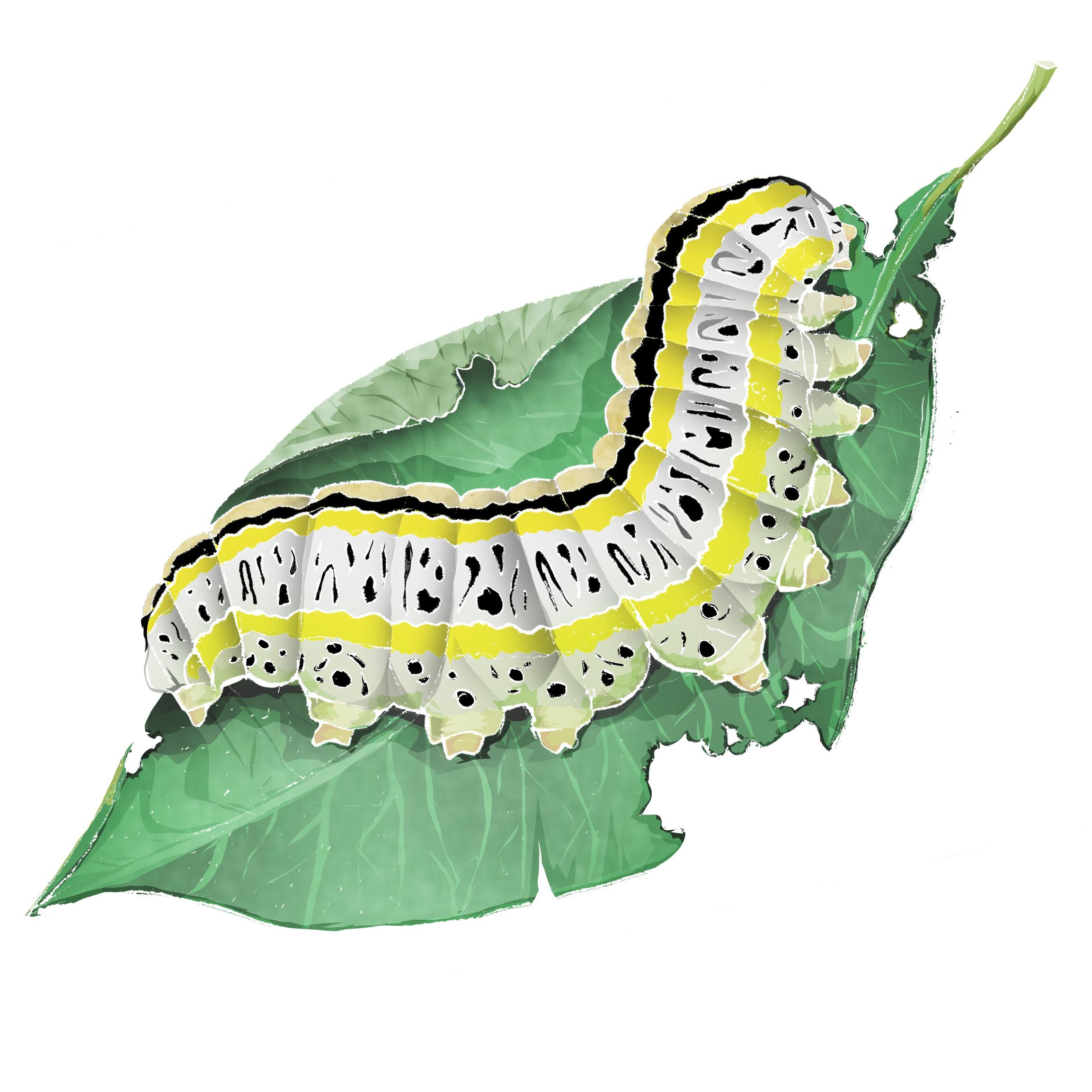 C - Caterpillar