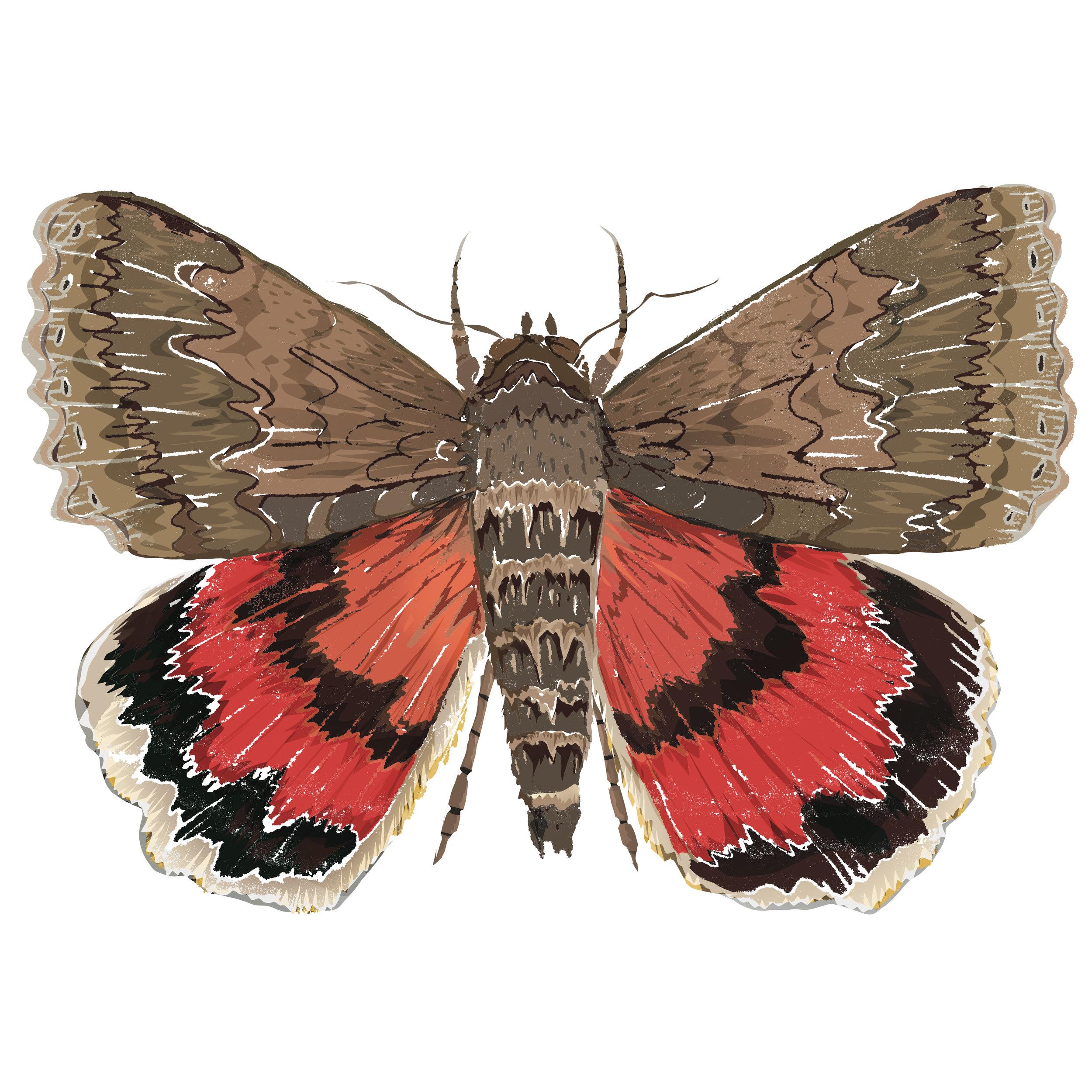 U - Underwing moth