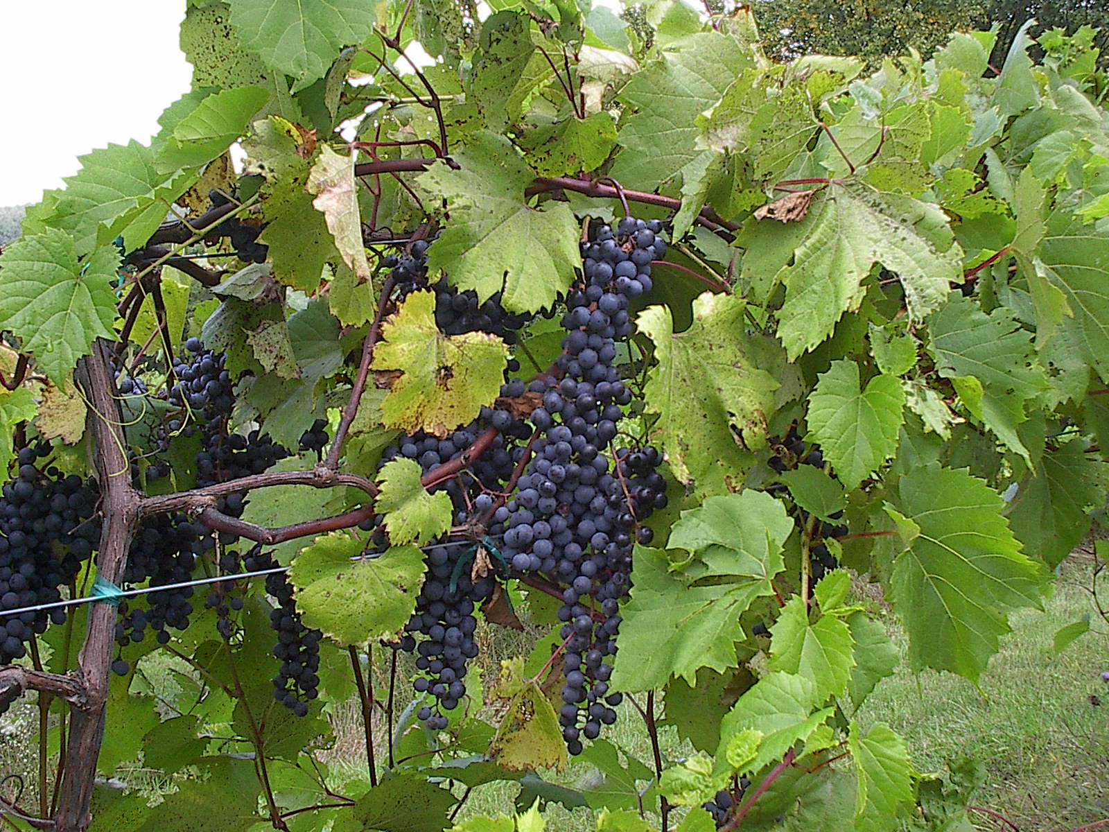Good grapes make good wine.