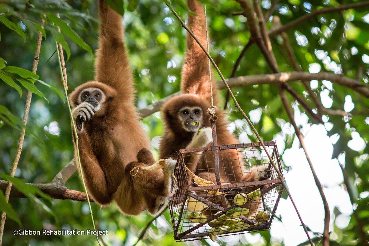 Gibbon Rehabilitation Project Gibbon sanctuary Phuket Thailand