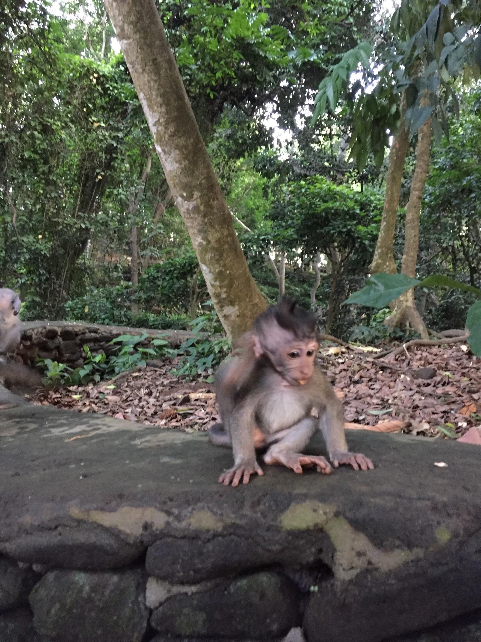 Baby monkey at the Monkey Forest in Ubud, Bali.